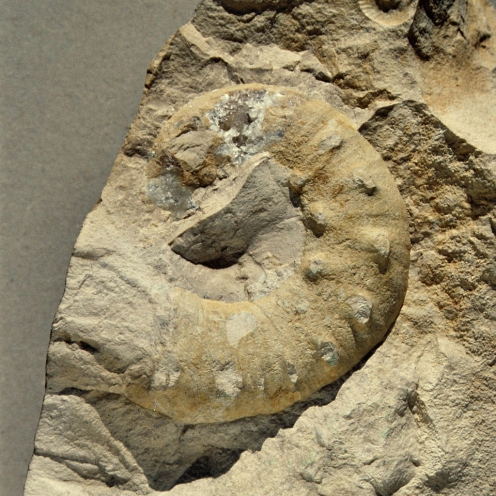 Ammonit Physodoceras